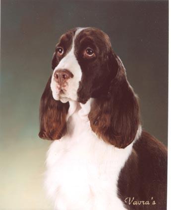 Oxbow English Springer Spaniels - Piper